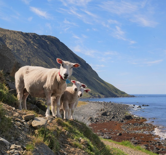 moutons iles lofoten norvege